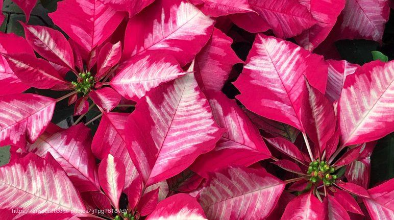 Poinsettias: The Unforgetable Christmas Flower